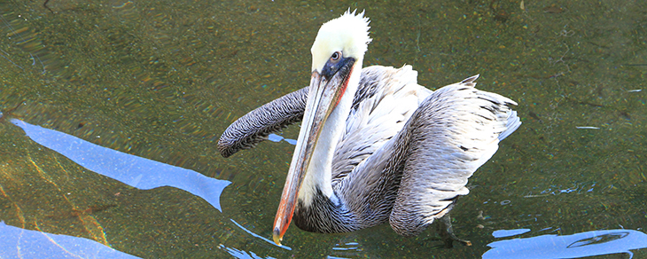 Brown pelicans join Alexandria Zoo's flock